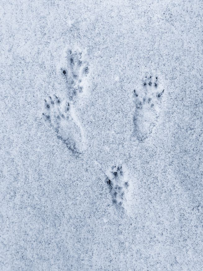Snowshoe and look for Tracks & Traces Jan 14 & Jan 30, 2021